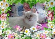 кошка шиншилла-поинт в добрые руки