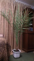 Продам Финиковую Пальму,  рост 2, 1 метра,  возраст 14 лет,  торгуюсь