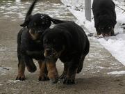Ротвейлер. Высоко-породные щенки.